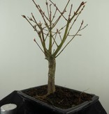 Bonsai L'Erable du Japon,Acer PalmatumBatafurai, no. 7496