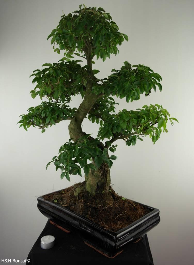 Bonsai Troène,Ligustrum nitida, no. 7498