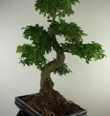 Bonsai Privet,Ligustrum nitida, no. 7498