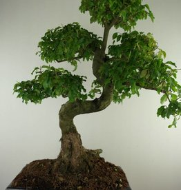 Bonsai Troène, Ligustrum nitida, no. 7499