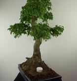 Bonsai Privet,Ligustrum nitida, no. 7499