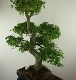 Bonsai Troène,Ligustrum nitida, no. 7500