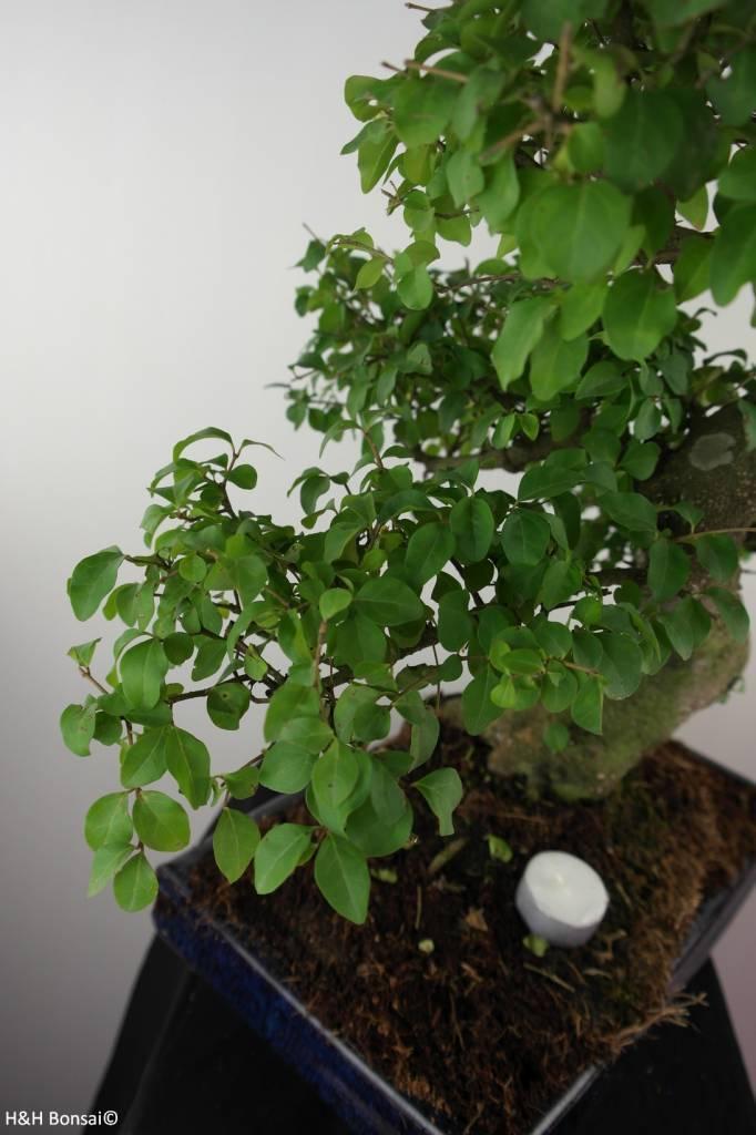 Bonsai Privet,Ligustrum nitida, no. 7500