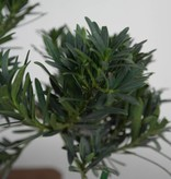 Bonsai Pin des Bouddhistes, Podocarpus, no. 7502