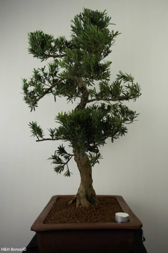 Bonsai Pin des Bouddhistes, Podocarpus, no. 7504