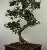 Bonsai Buddhist Pine, Podocarpus, no. 7504