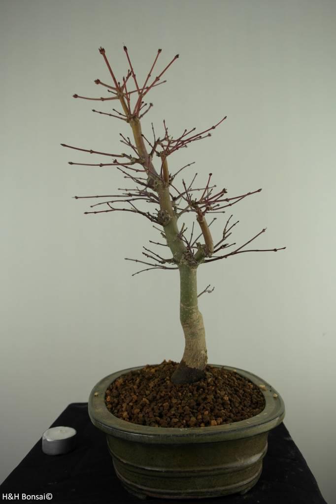 Bonsai L'Erable du Japon deshojo, Acer palmatum deshojo, no. 7505