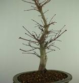 Bonsai L'Erable du Japon deshojo, Acer palmatum deshojo, no. 7508