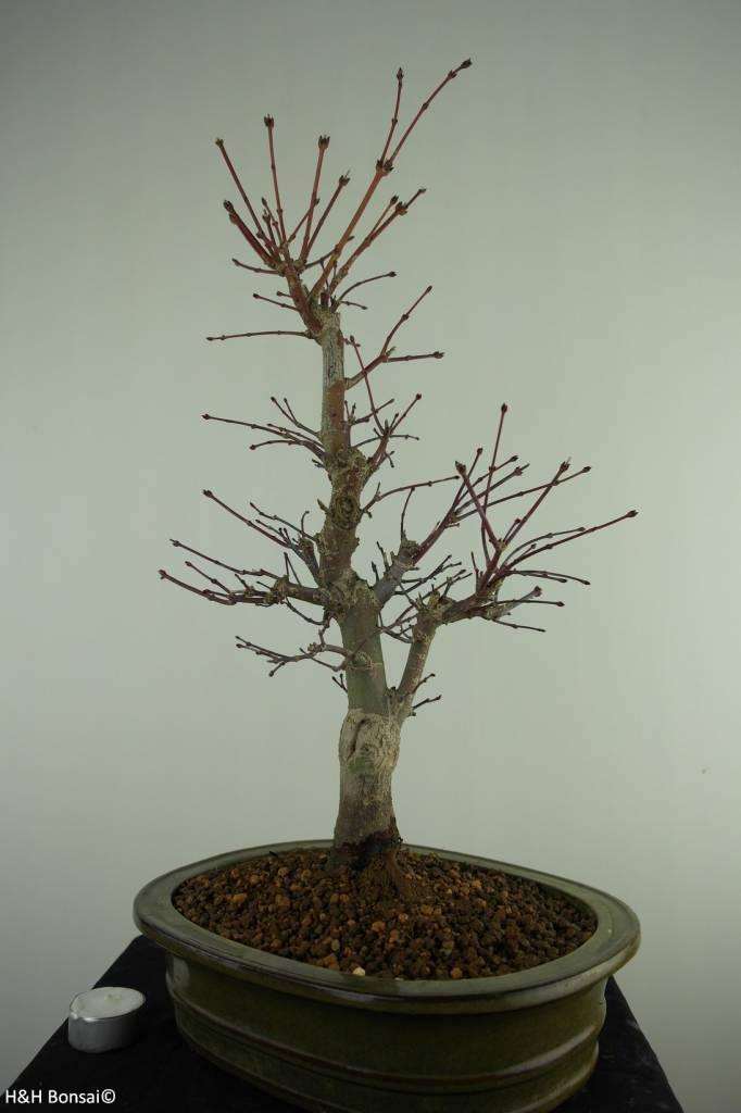 Bonsai Japanese Red Maple, Acer Palmatum deshojo, no. 7508