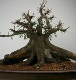 Bonsai Orme de Chine, Ulmus, no. 7509