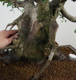 Bonsai Chinese Elm, Ulmus, no. 7510