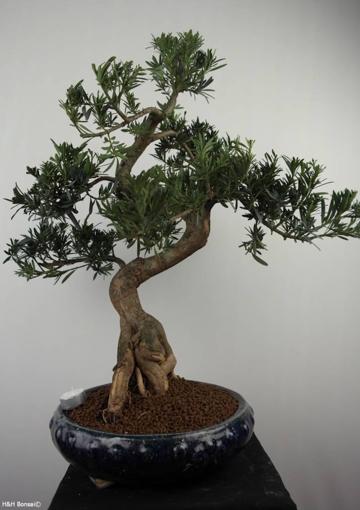 Bonsai Buddhist Pine, Podocarpus, no. 7512