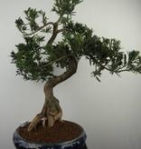 Bonsai Pin des Bouddhistes, Podocarpus, no. 7512