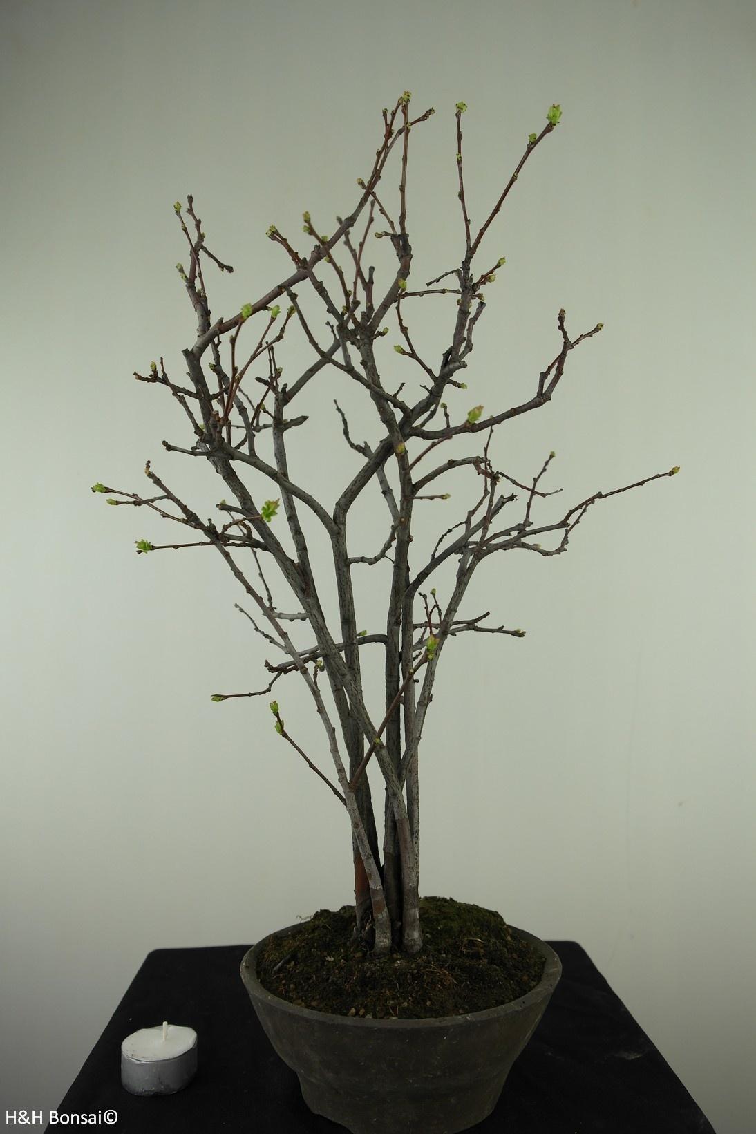 Bonsai Quince, Chaenomeles sinensis, no. 7511A