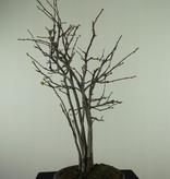 Bonsai Chaenomeles sinensis, no. 7511A