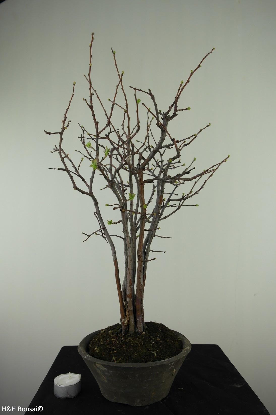 Bonsai Quince, Chaenomeles sinensis, no. 7512A