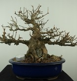 Bonsai L'Erable de Burger, Acer buergerianum, no. 7513A