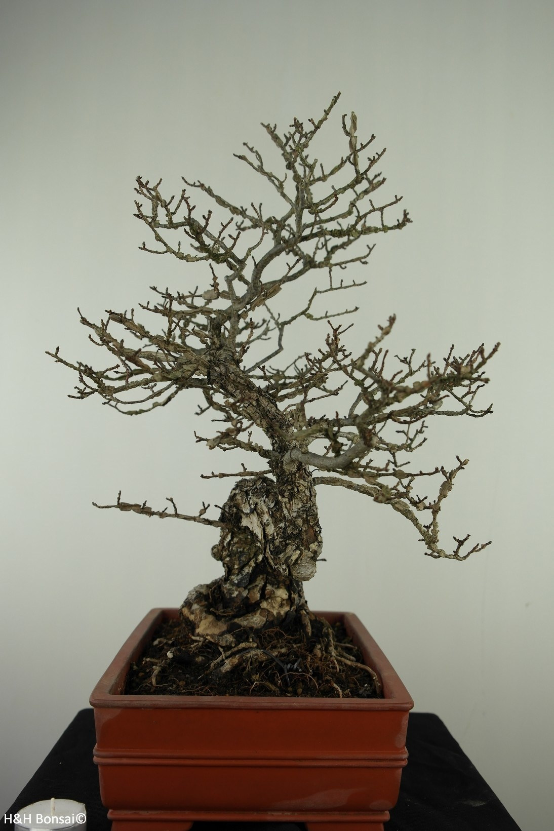 Bonsai Fusain ailé, Euonymus alatus, no. 7514