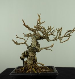 Bonsai Shohin Forsythia, no. 7517