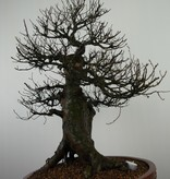Bonsai Chinese Elm, Ulmus, no. 7519