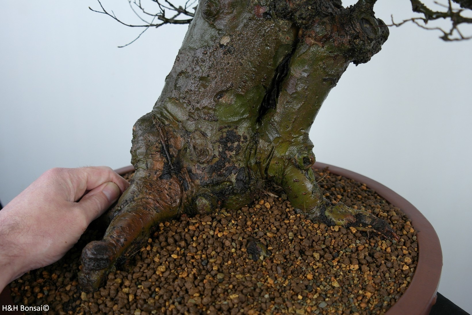 Bonsai Orme de Chine, Ulmus, no. 7519