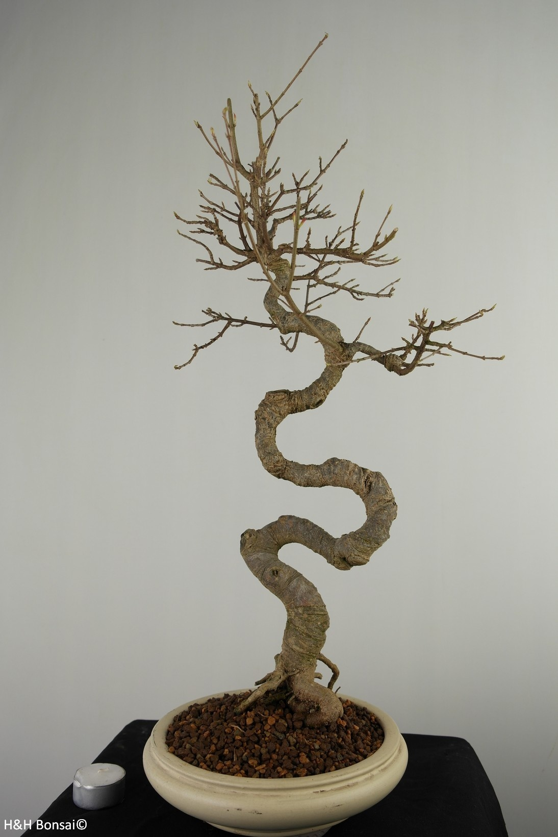 Bonsai L'Erable de Burger, Acer buergerianum, no. 7520