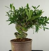 Bonsai Jasmin du Cap, Gardenia jasminoides, no. 7521
