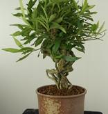 Bonsai Jasmin du Cap, Gardenia jasminoides, no. 7522