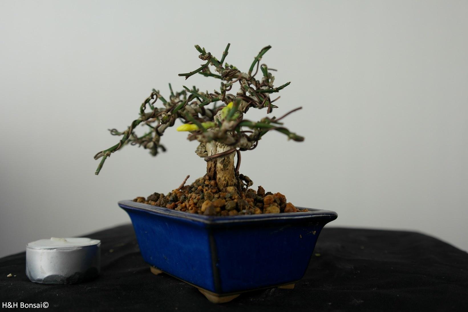 Bonsai ShohinJasmin d'hiver jaune, Jasminum nudiflorum, no. 7527