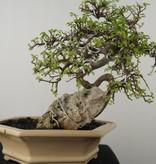 Bonsai Orme de chine, Zelkova, no. 7530