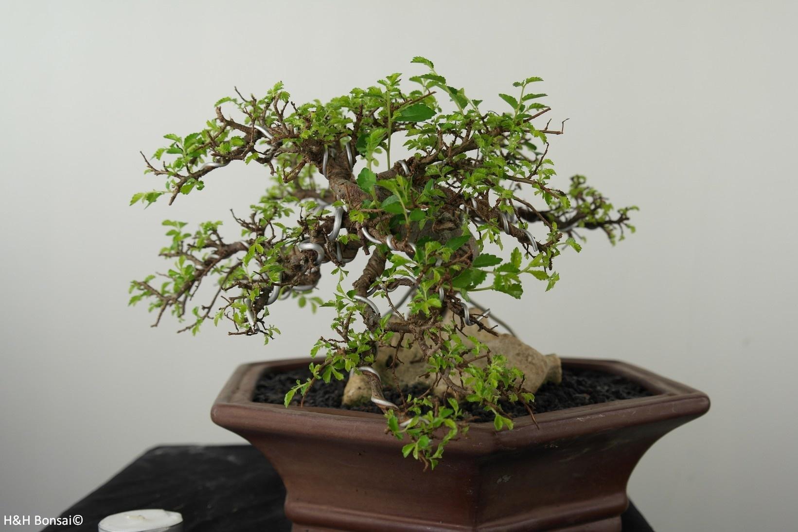 Bonsai Orme de chine, Zelkova, no. 7531