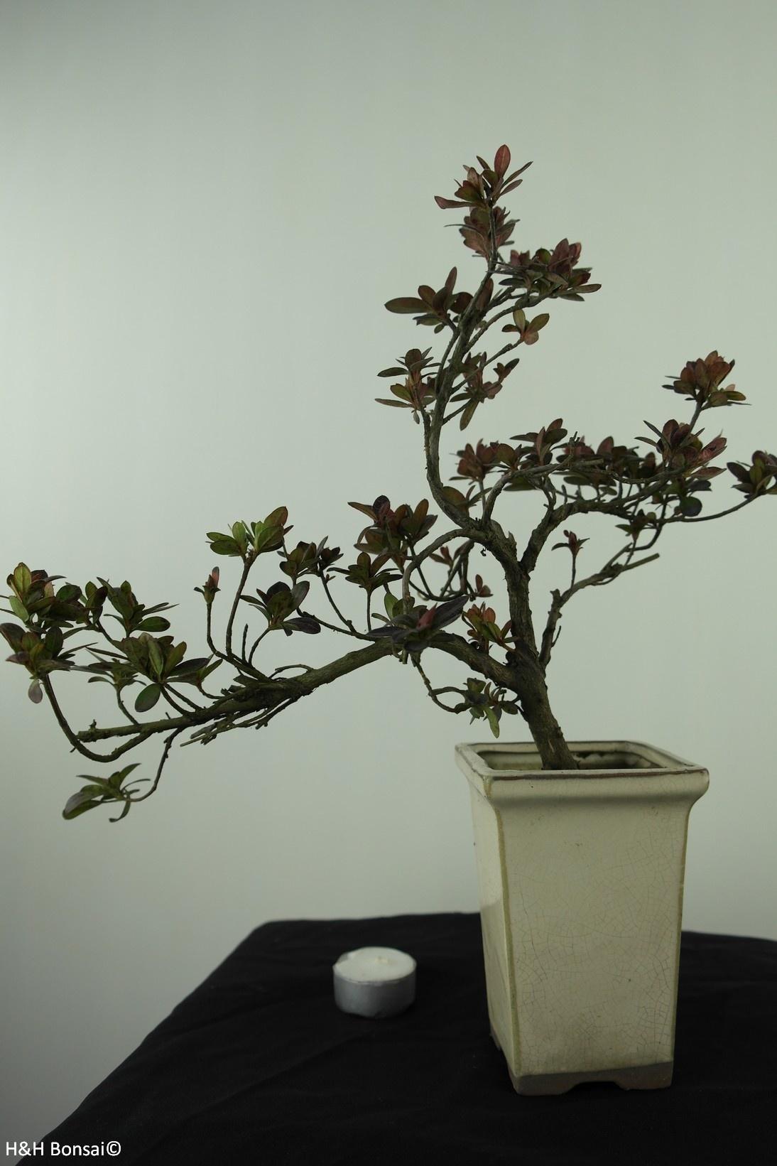 Bonsai Azalea Rhododendron indicum, no. 7535