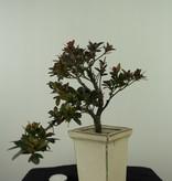 Bonsai Azalea Rhododendron indicum, no. 7540