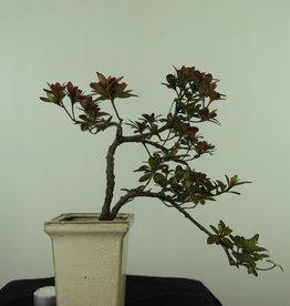 Bonsai Azalée, Azalea Rhododendron indicum, no. 7542
