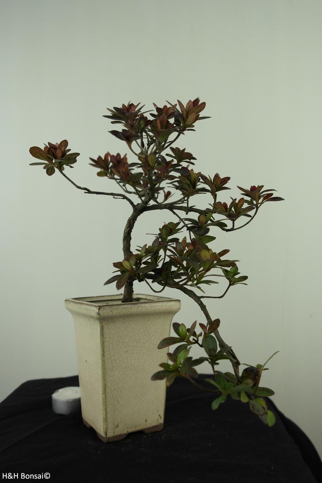 Bonsai Azalea Rhododendron indicum, no. 7542