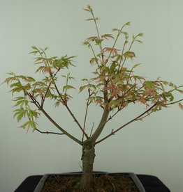 Bonsai Erable du Japon, Acer palmatum Batafurai, Butterfly, no. 7548