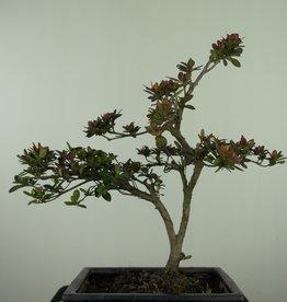 Bonsai Azalée, Azalea Rhododendron indicum, no. 7557
