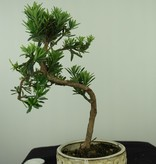 Bonsai Buddhist Pine, Podocarpus, no. 7560