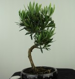 Bonsai Buddhist Pine, Podocarpus, no. 7564