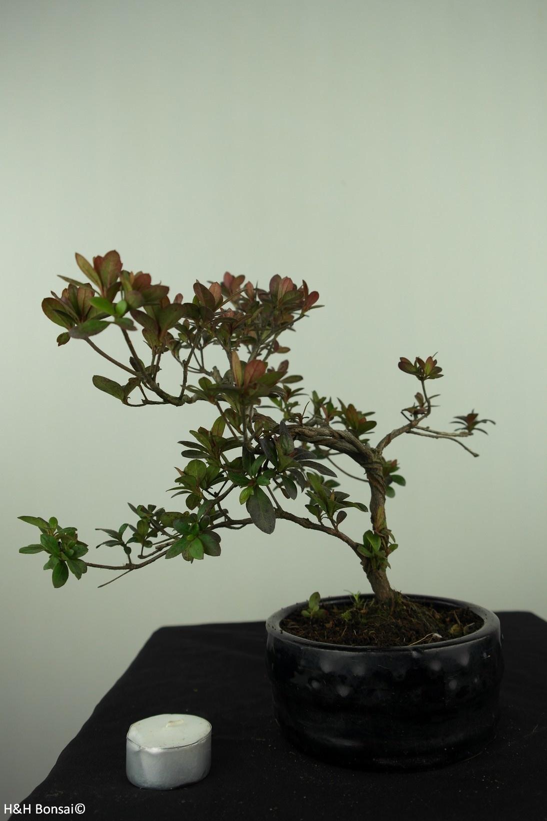 Bonsai Azalea Rhododendron indicum, no. 7572