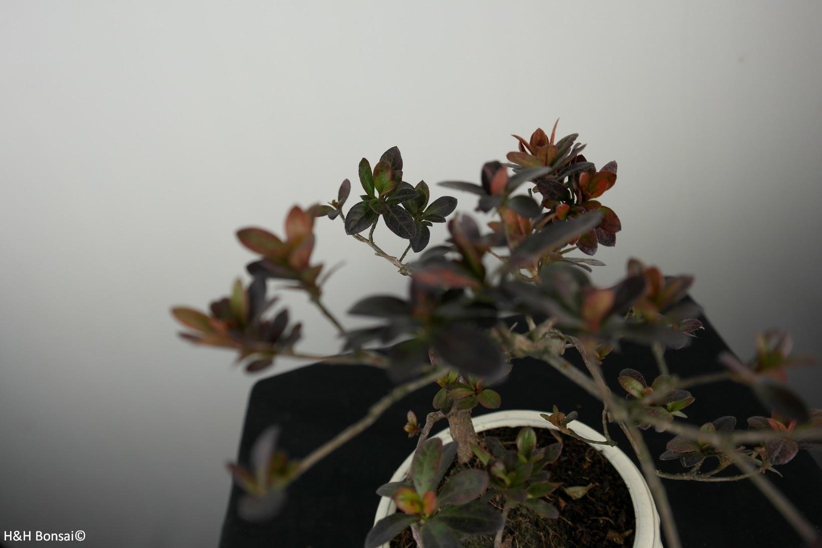 Bonsai Azalea Rhododendron indicum, no. 7574