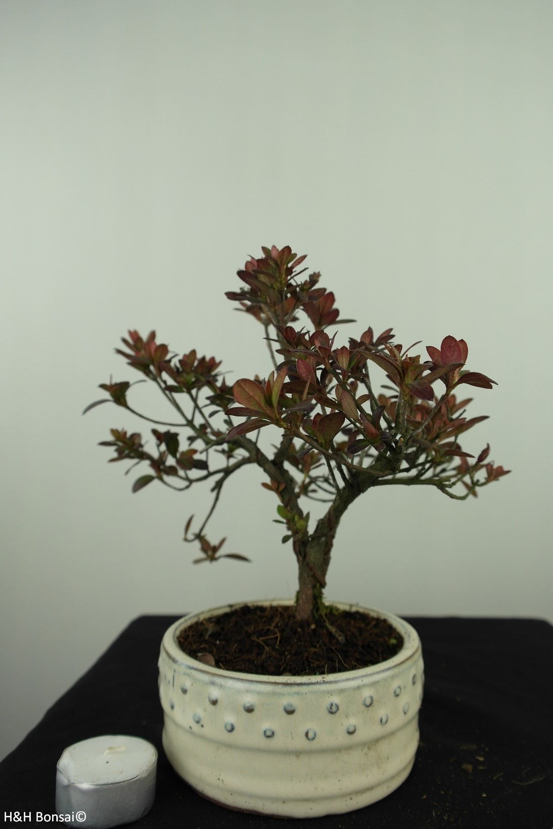 Bonsai Azalea Rhododendron indicum, no. 7576