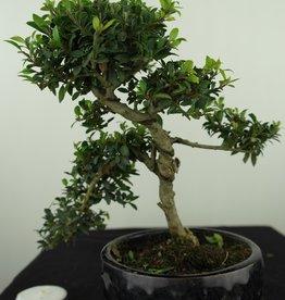 Bonsai Houx japonais, Ilexcrenata, no. 7580