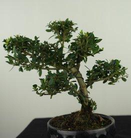 Bonsai Japanese Holly, Ilexcrenata, no. 7581