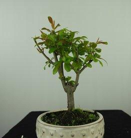 Bonsai Pomegranate, Punica granatum, no. 7593