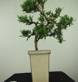 Bonsai Pin des Bouddhistes, Podocarpus, no. 7595