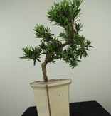 Bonsai Buddhist Pine, Podocarpus, no. 7595