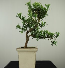 Bonsai Pin des Bouddhistes, Podocarpus, no. 7596