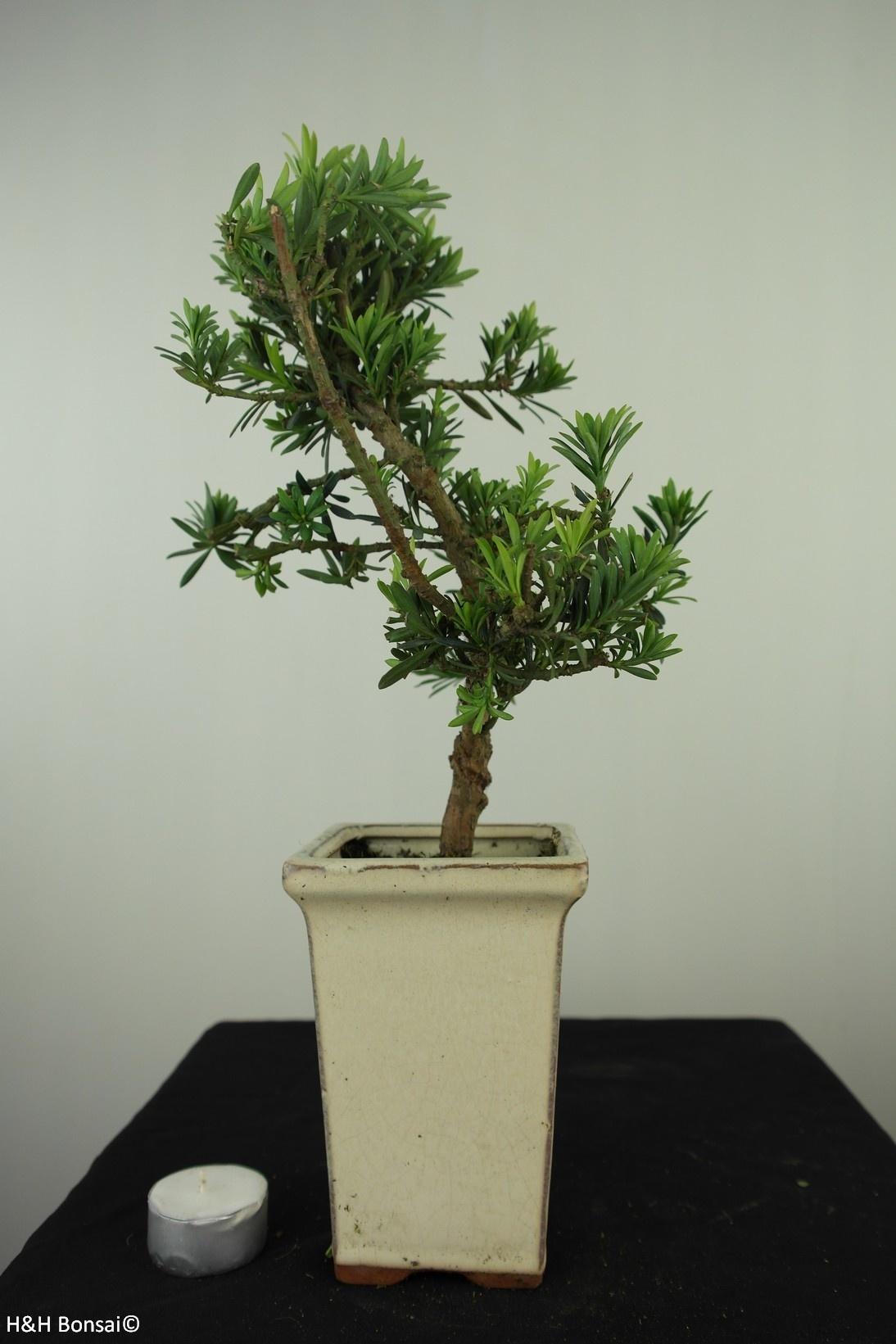 Bonsai Buddhist Pine, Podocarpus, no. 7597