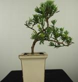 Bonsai Buddhist Pine, Podocarpus, no. 7598